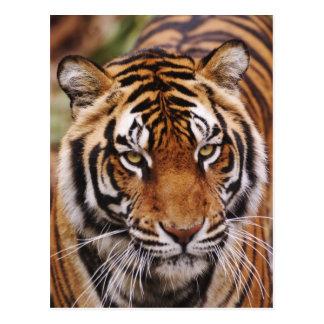 Tigre de Bengala Panthera el Tigris Postal