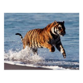 Tigre de Bengala (Panthera el Tigris) Tarjetas Postales