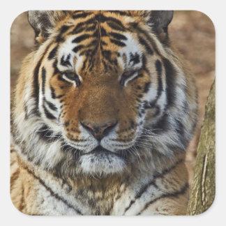 Tigre de Bengala, Panthera parque zoológico del Pegatinas Cuadradases