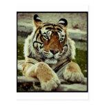 Tigre de Bengala Postal