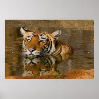 Tigre de Bengala que le mira del poster 2 del agua