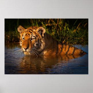Tigre de Bengala que le mira del poster del agua