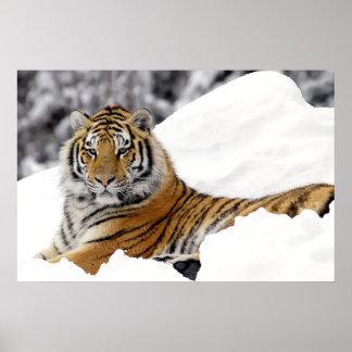 Tigre de Bengala que le mira en de la nieve Poster