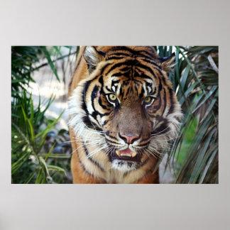 Tigre de Bengala que le mira poster 2