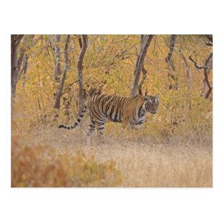 Tigre de Bengala real en el bosque Ranthambhor Postales