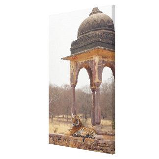 Tigre de Bengala real en el cenotafio, Ranthambhor Lona Estirada Galerías
