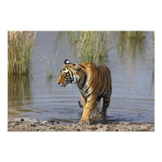 Tigre de Bengala real en el lago Rajbagh Impresión Fotográfica