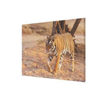 Tigre de Bengala real en el movimiento, Ranthambho Lona Estirada Galerias
