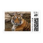 Tigre de Bengala real en la charca de la selva,