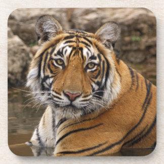 Tigre de Bengala real en la charca de la selva, Posavasos