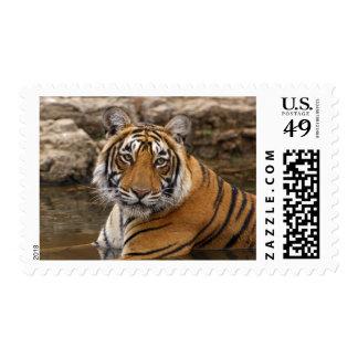 Tigre de Bengala real en la charca de la selva, Sellos
