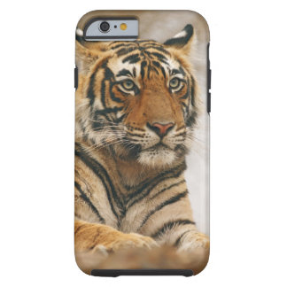Tigre de Bengala real en la roca, Ranthambhor Funda De iPhone 6 Tough