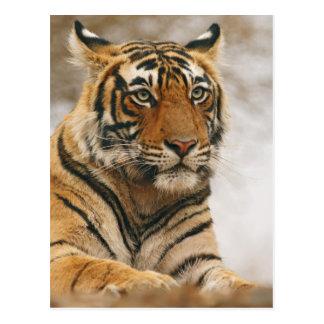 Tigre de Bengala real en la roca, Ranthambhor Postales