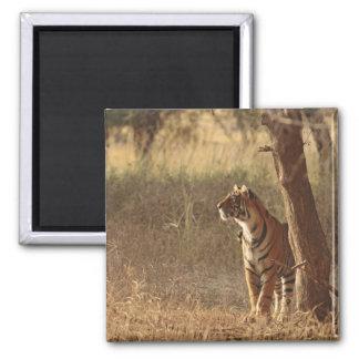 Tigre de Bengala real en mirada hacia fuera para l Imán Cuadrado