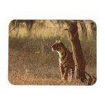 Tigre de Bengala real en mirada hacia fuera para l Iman Rectangular