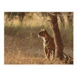 Tigre de Bengala real en mirada hacia fuera para Tarjeta Postal