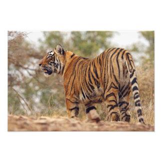 Tigre de Bengala real encendido cuesta arriba, Ran Impresiones Fotográficas