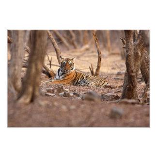 Tigre de Bengala real, parque nacional de Ranthamb Cojinete