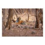 Tigre de Bengala real, parque nacional de Ranthamb Fotografía