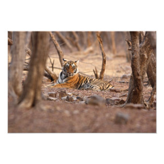 Tigre de Bengala real parque nacional de Ranthamb Fotografía