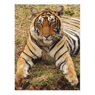 Tigre de Bengala real, parque nacional de Postal