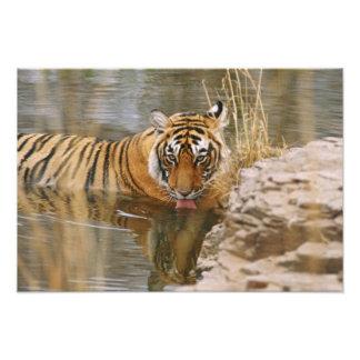 Tigre de Bengala real que bebe en el bosque Fotografías