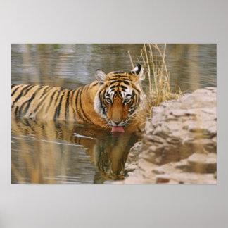 Tigre de Bengala real que bebe en el bosque Impresiones