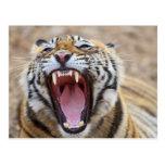 Tigre de Bengala real que bosteza; Ranthambhor Tarjetas Postales
