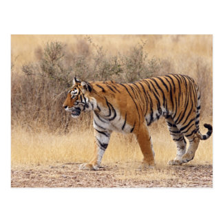 Tigre de Bengala real que camina alrededor de seco Postal
