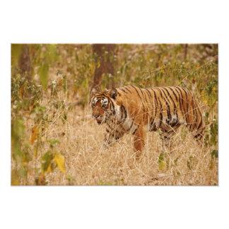 Tigre de Bengala real que camina alrededor del arb Cojinete