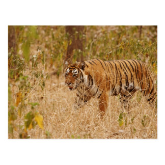 Tigre de Bengala real que camina alrededor del Postal