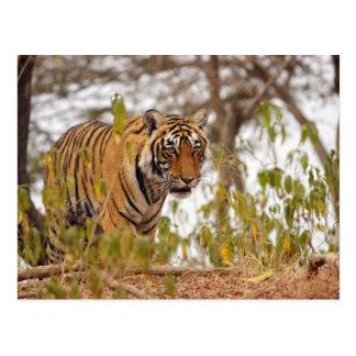 Tigre de Bengala real que camina por el lado del Postal