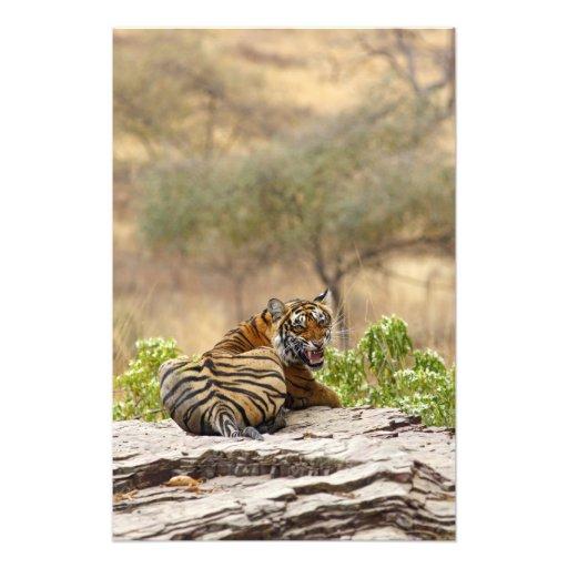 Tigre de Bengala real que gruñe, Ranthambhor Impresiones Fotográficas