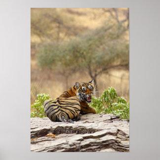 Tigre de Bengala real que gruñe, Ranthambhor Póster