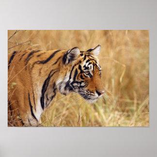 Tigre de Bengala real que mira de los 2 Póster