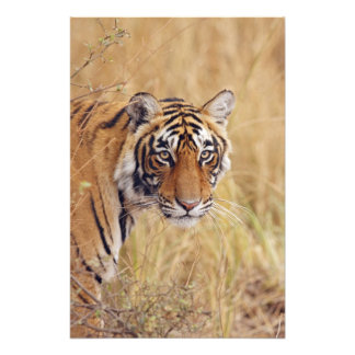 Tigre de Bengala real que mira de Cojinete