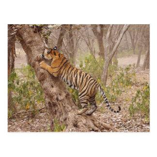 Tigre de Bengala real que sube para arriba el árbo Postal