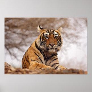 Tigre de Bengala real - un cierre para arriba, Ran Póster