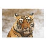 Tigre de Bengala real - un retrato, Ranthambhor Cojinete
