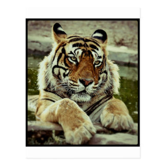 Tigre de Bengala Tarjeta Postal