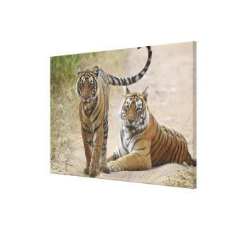 Tigre de Bengala y joven reales, Ranthambhor Lona Envuelta Para Galerías