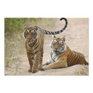 Tigre de Bengala y joven reales Ranthambhor Arte Fotografico