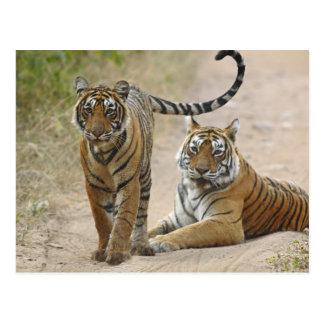 Tigre de Bengala y joven reales, Ranthambhor Postales