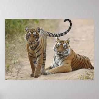 Tigre de Bengala y joven reales, Ranthambhor Póster