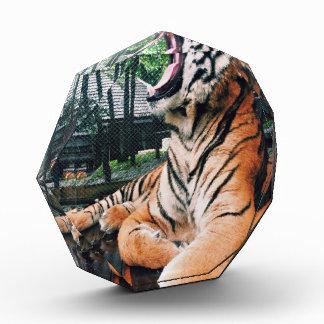 Tigre de bostezo en el parque zoológico