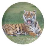 Tigre de bostezo plato de cena