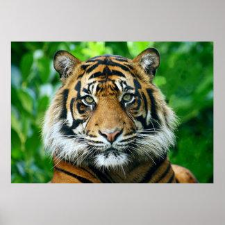 Tigre de Magestic Bengala Póster