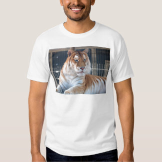 Tigre de oro del Tabby en el parque zoológico 1 de Camisas