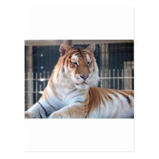 Tigre de oro del Tabby en el parque zoológico 1 de Tarjeta Postal