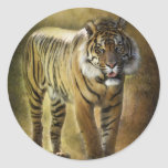 Tigre de Sumatran Etiqueta Redonda